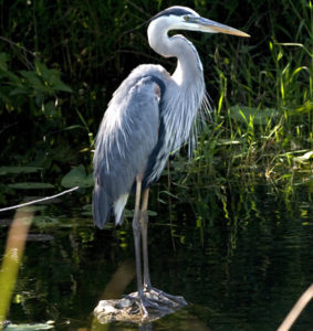 Blue Heron encounter on outing with The Villages Fishing Guide, Capt. Grady Maynard
